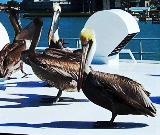 pelicans inspire DeHoff Arts- copy writes apply